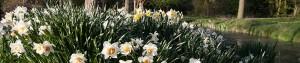 Bloeiende narcissen op Amstelglorie